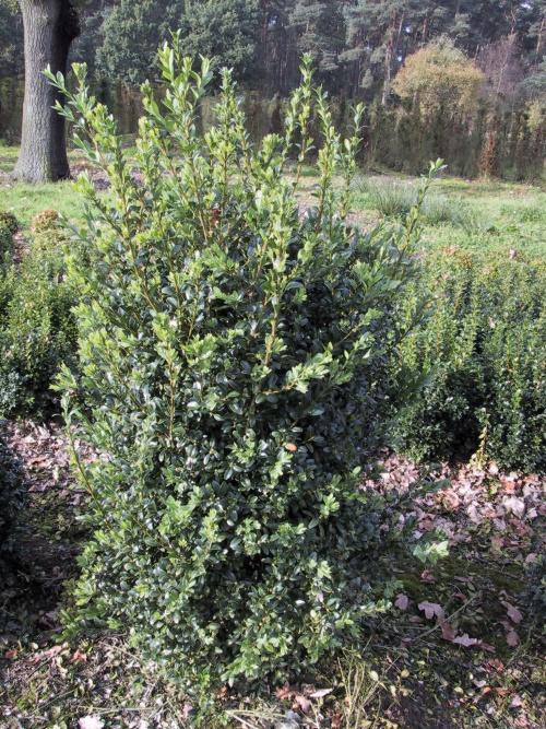 buxus sempervirens arborescens buxus speciale soorten. Black Bedroom Furniture Sets. Home Design Ideas