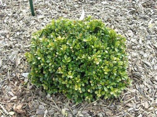 microphylla morris midget