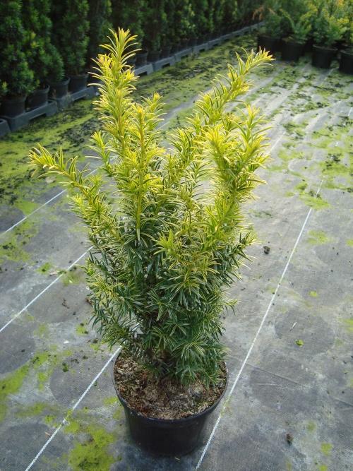taxus baccata golden hedge taxus speciale soorten. Black Bedroom Furniture Sets. Home Design Ideas