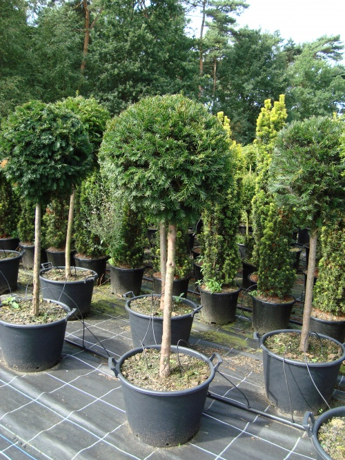 taxus baccata bol op stam taxus topiary. Black Bedroom Furniture Sets. Home Design Ideas